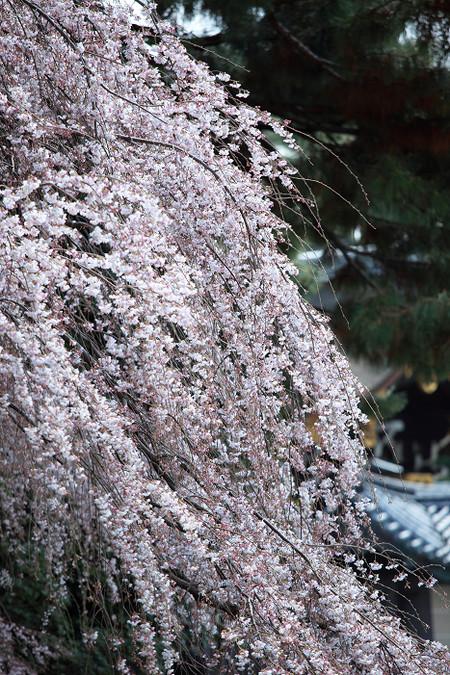Itozakura1204017