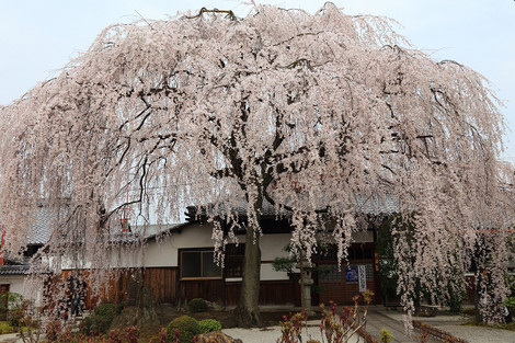 Honmanji1403301