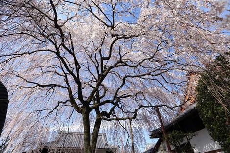 Honmanji1503293