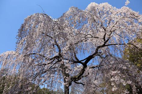 Kyotogyoen1504031