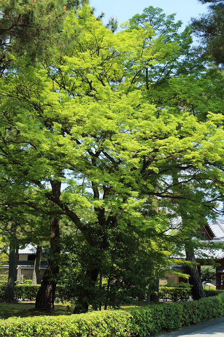 Syoukokuji1504301