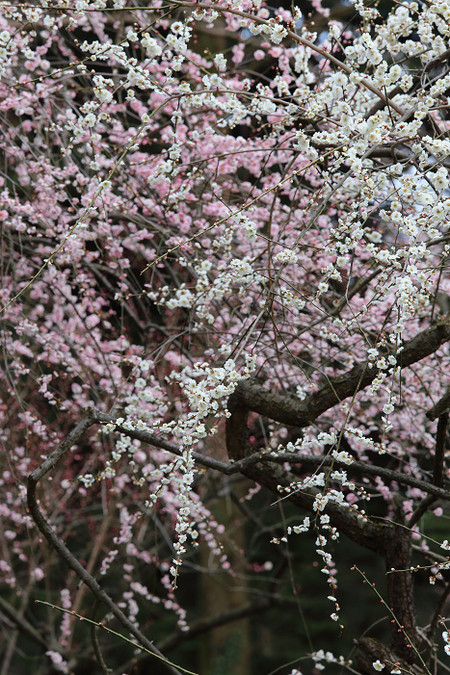Kyotofuritusyokubutuen1602021